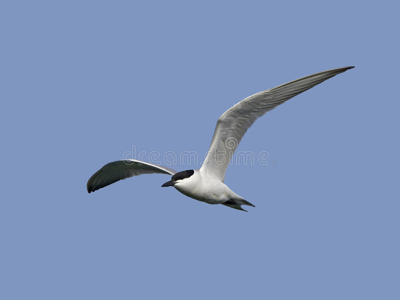 Gull-billed nilotica van sterngelochelidon stock afbeeldingen