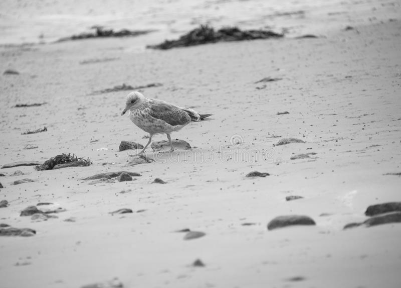 gull bird in black and white alone on the beach in summer in brittany on the sand royalty free stock photo