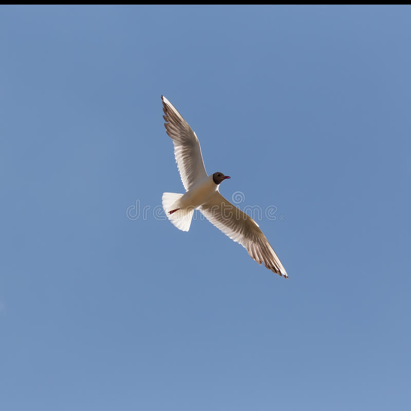 Gull on blue sky background royalty free stock photo