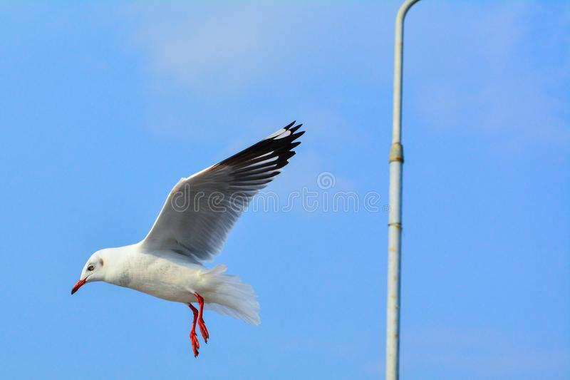 Gull brid frying with blue sky stock images