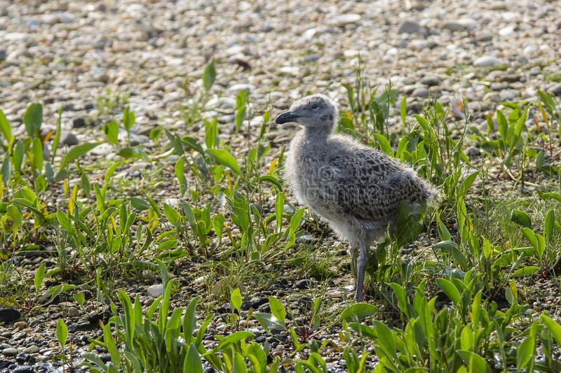 Gull Chick in Beach Plants. A fuzzy , gray, spotted and mottled baby bird standing on the rocks amongst beach greenery is a gull chick stock photography