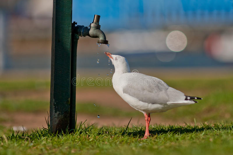Gull drinking from a dripping tap/faucet royalty free stock images