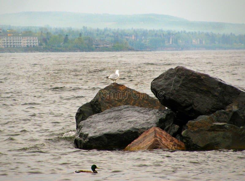 Gull en una roca con el pato silvestre en frente foto de archivo