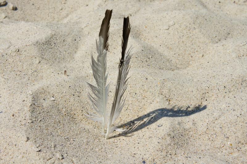 Gull feathers on the sea sandy shore.  stock photo