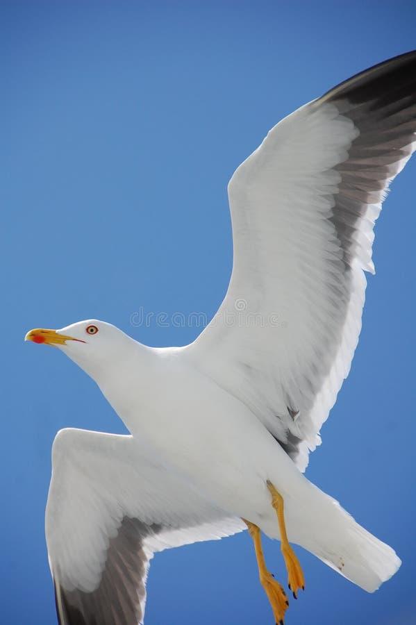 Gull in flight royalty free stock photos
