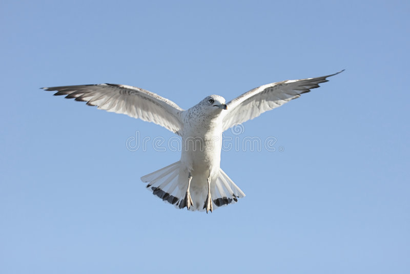Download Gull In Flight Stock Image - Image: 8155931