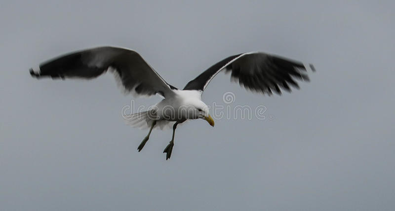 Gull in flight. Kelp Gull coming into land - wing blur royalty free stock photos
