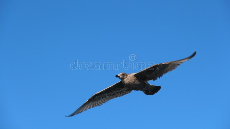 A gull in flight stock photo
