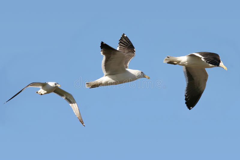 Download Gull flying stock image. Image of composite, outstretched - 16756663