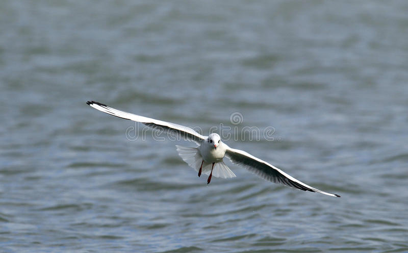 Gull flying above river. Gull ,Larus ridibundus,rivergull flying above river Danube,in Zemun,Belgrade,Serbia royalty free stock images