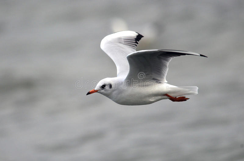 Gull flying above river. Gull ,Larus ridibundus,rivergull flying above river Danube,in Zemun,Belgrade,Serbia stock images