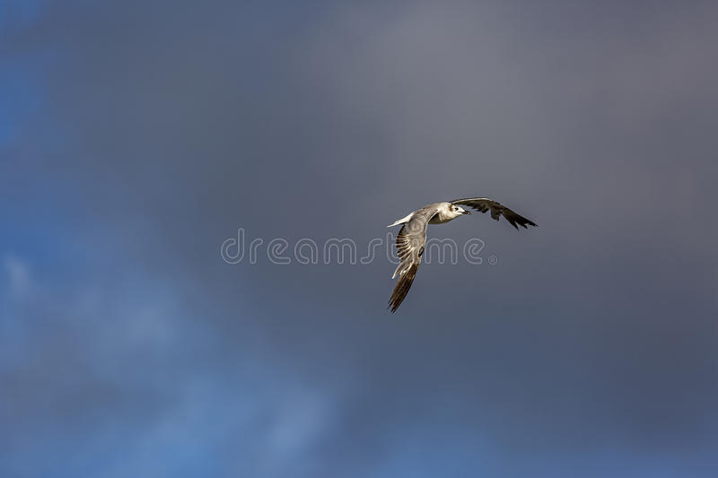 Gull In Gray Cloud stock image