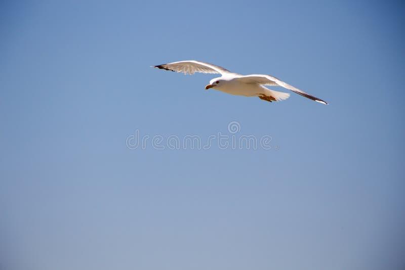 Gull. royalty free stock photo