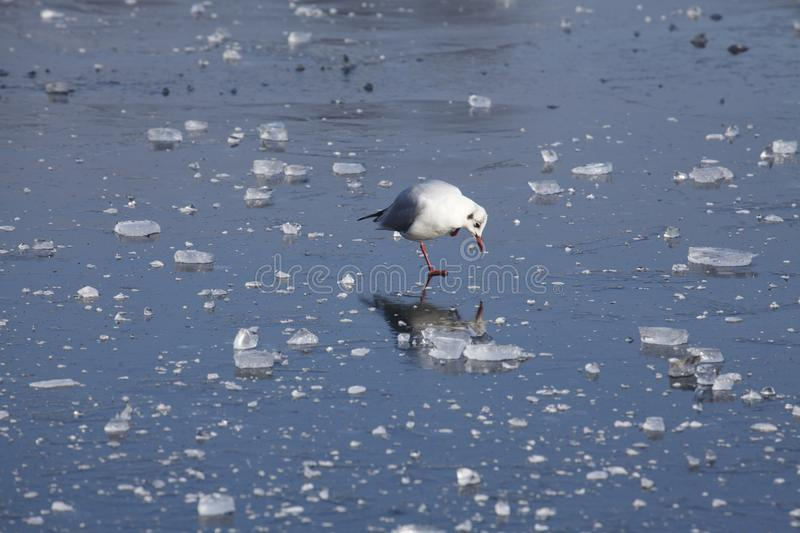 Ice on an icebound lake. Gull, ice cover on an icebound lake royalty free stock images