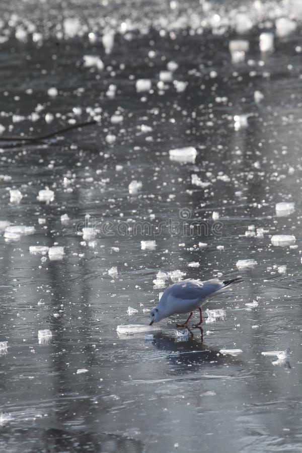 Ice on an icebound lake. Gull, ice cover on an icebound lake stock photo