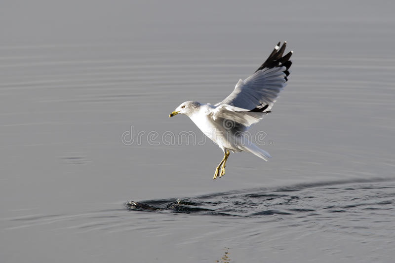 Gull just above water. A herring gull comes in for a landing in water stock image