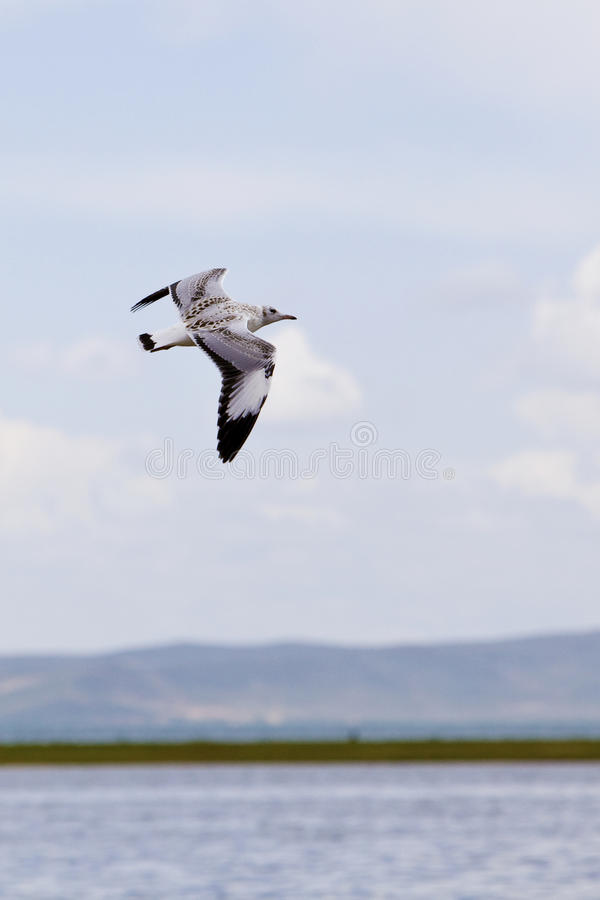 Download Gull and Lake stock photo. Image of flying, horizon, asia - 20591432