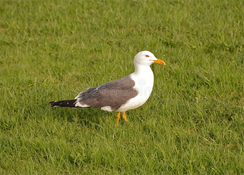 Download The gull Larus fuscus stock image. Image of beak, fisheater - 30919063