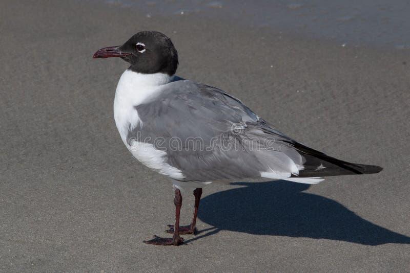 Gull Laughing 1P royalty-vrije stock afbeeldingen