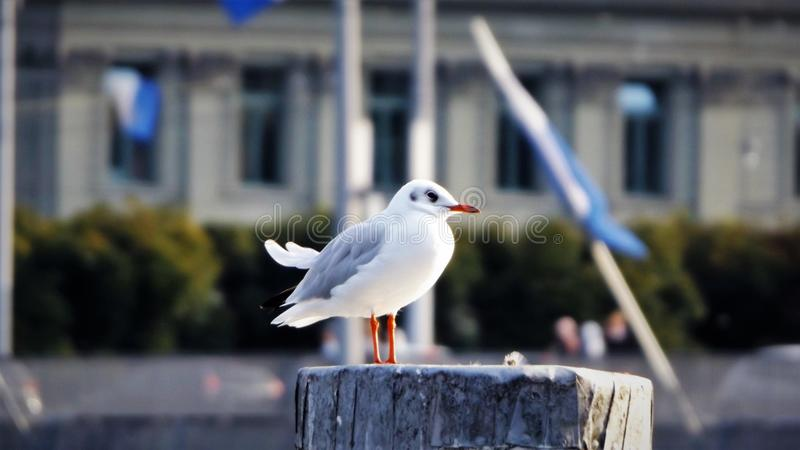 Gull in Lucerne, Switzerland royalty free stock images