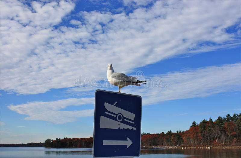 Gull on Maine lake in fall royalty free stock images