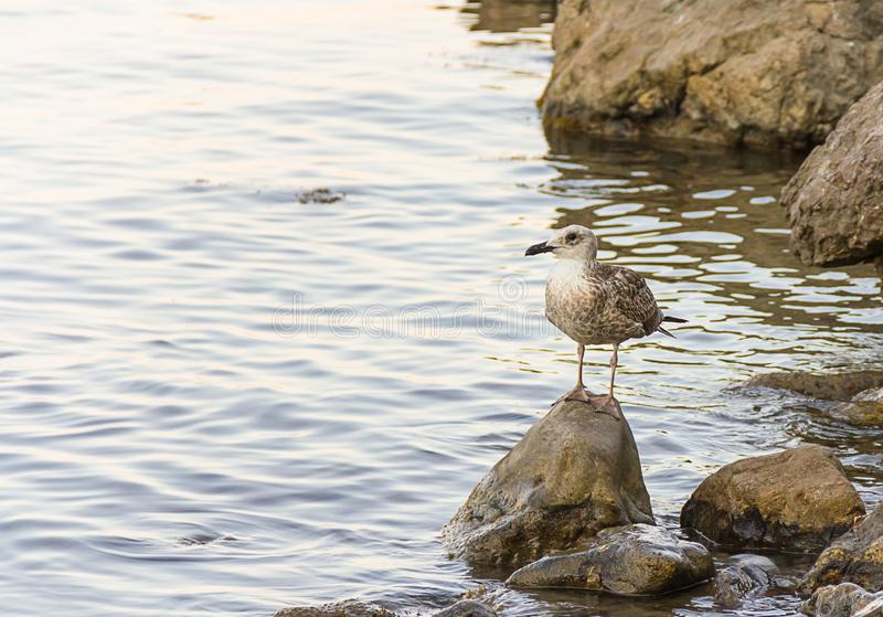 Gull nestling young bird brown with webbed feet stands on stone looking out to the open sea copy space postcard marine theme trave royalty free stock photos