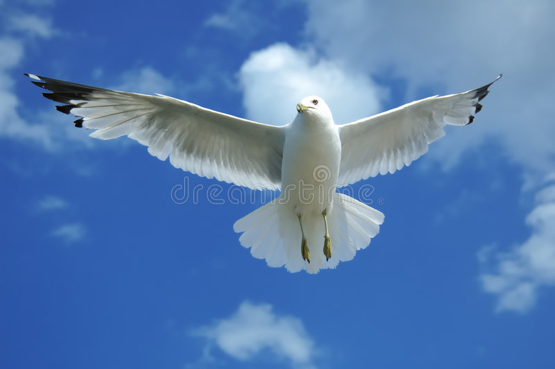 Gull Overhead royalty free stock photo
