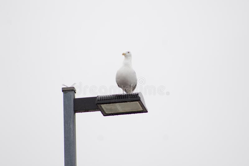 Gull perched on lamp post. White gull sitting on a lamp post with light blue sky background stock photo