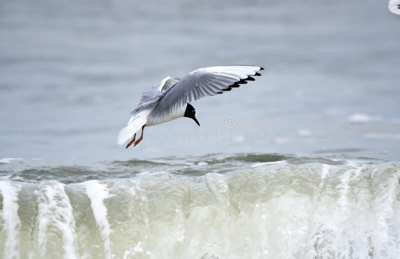 Male Bonaparte`s Gulls flying over Atlantic ocean waves. Gull playing in surf at Myrtle Beach, South Carolina. Bonaparte`s gull Chroicocephalus philadelphia is stock photography