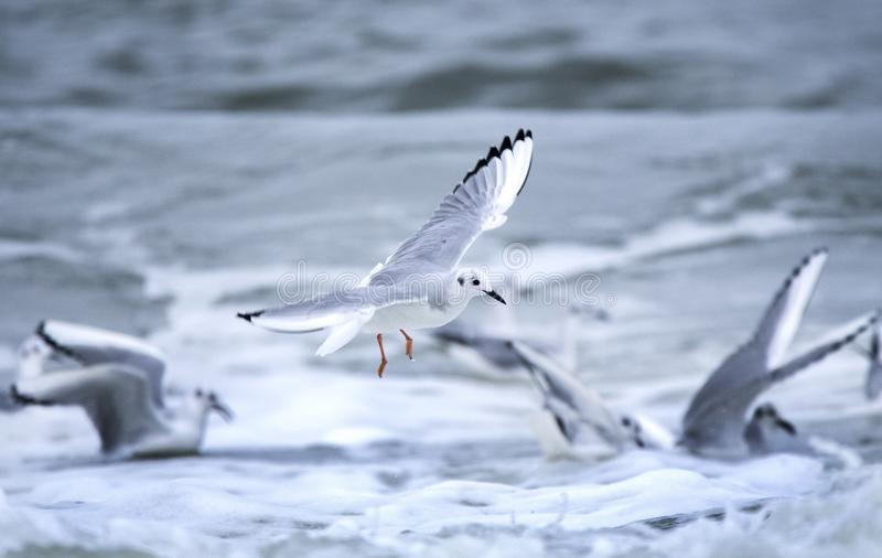 Bonaparte`s Gulls frolicking in Atlantic Ocean waves. Gull playing in surf at Myrtle Beach, South Carolina. Bonaparte`s gull Chroicocephalus philadelphia is in stock images