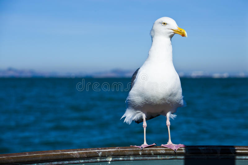Download Gull Posing With Blue Sea Background Stock Photo - Image: 83709567