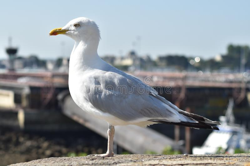 Gull on the ramparts of Saint Malo. Gull on the ramparts of Saint Malo in Brittany, France. Gull profile picture royalty free stock photos