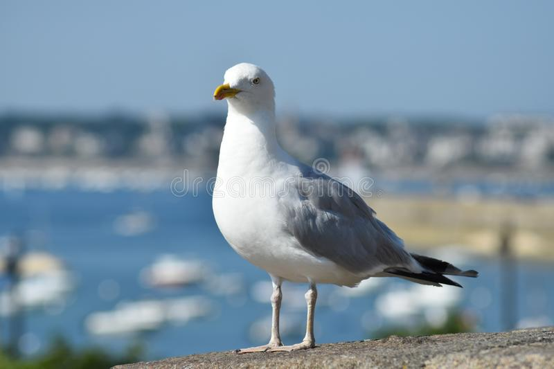 Gull on the ramparts of Saint Malo. Gull on the ramparts of Saint Malo in Brittany, France. This gull is not happy stock photography