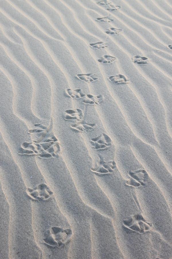 Gull's steps on the Ameland Island Beach, Holland royalty free stock image