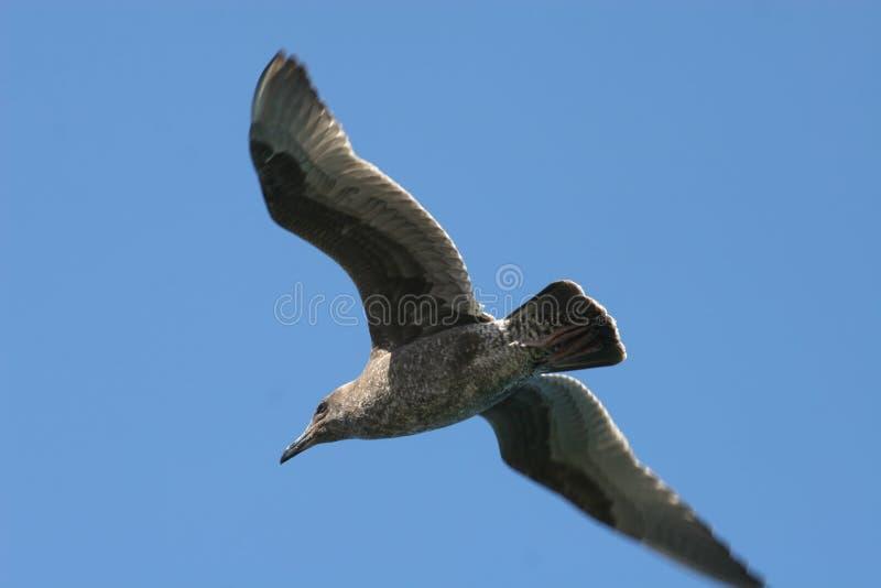 gull sea young royaltyfri fotografi