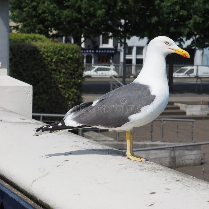 seagull bird animal stock photos