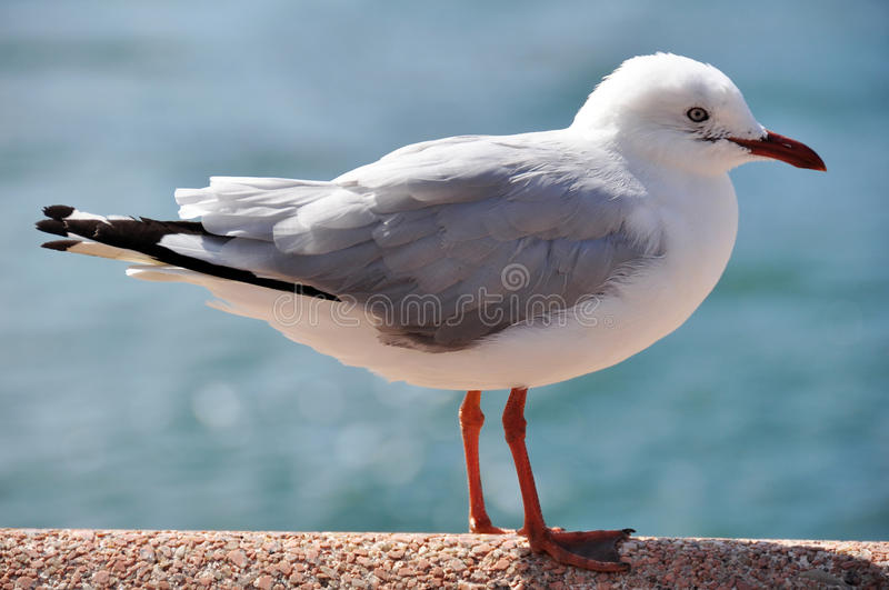 Gull or Seagull bird at Manly beach in northern New South Wales, Australia. stock photos
