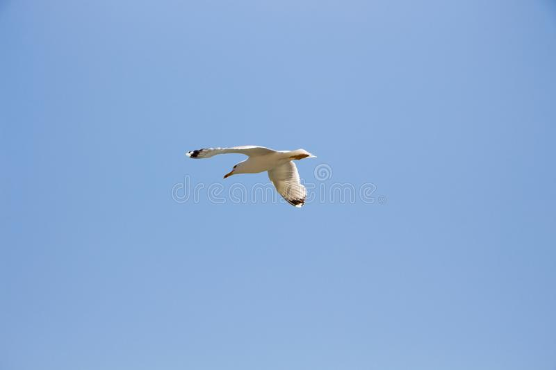 Gull. royalty free stock images