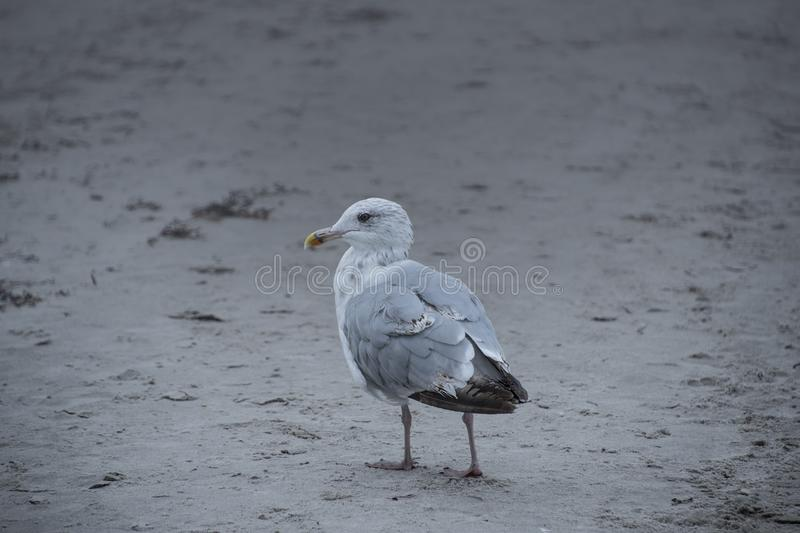 Gull or seagull, seabird of the Laridae family in the suborder L. Ari, on the beach of the Baltic Sea royalty free stock image