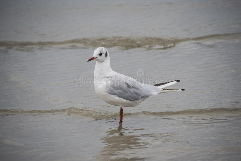 Gull or seagull, seabird of the Laridae family in the suborder L. Ari, on the beach of the Baltic Sea stock photo