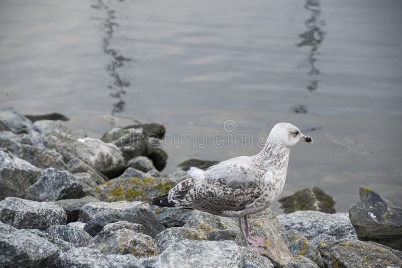 Gull or seagull, seabird of the Laridae family in the suborder Lari, on the beach of the Baltic Sea royalty free stock photography