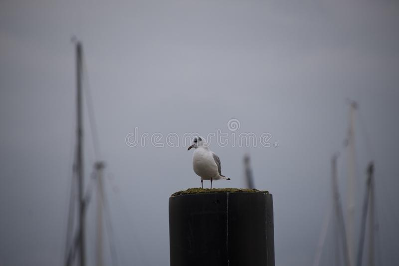 Gull or seagull, seabird of the Laridae family in the suborder Lari, on the beach of the Baltic Sea. A Gull or seagull, seabird of the Laridae family in the stock photo