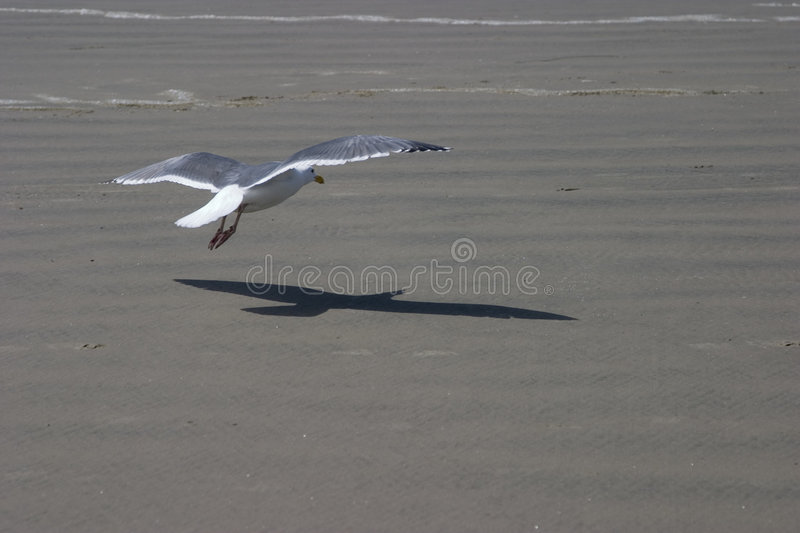 Download Gull and shadow stock photo. Image of ocean, flight, beach - 2305208