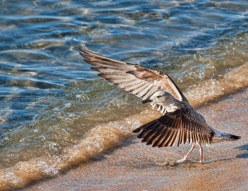 Download Gull Shouting At The Sea Royalty Free Stock Images - Image: 23200419