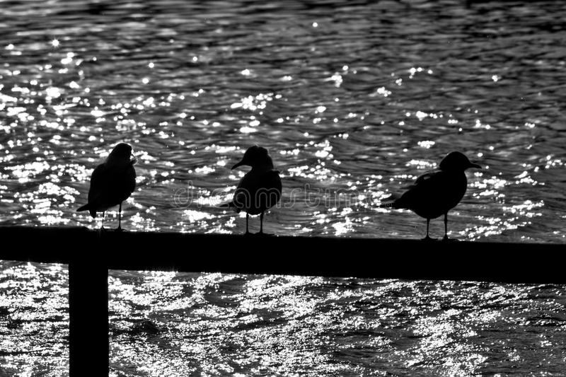 Gull Silhouette Royalty Free Stock Images