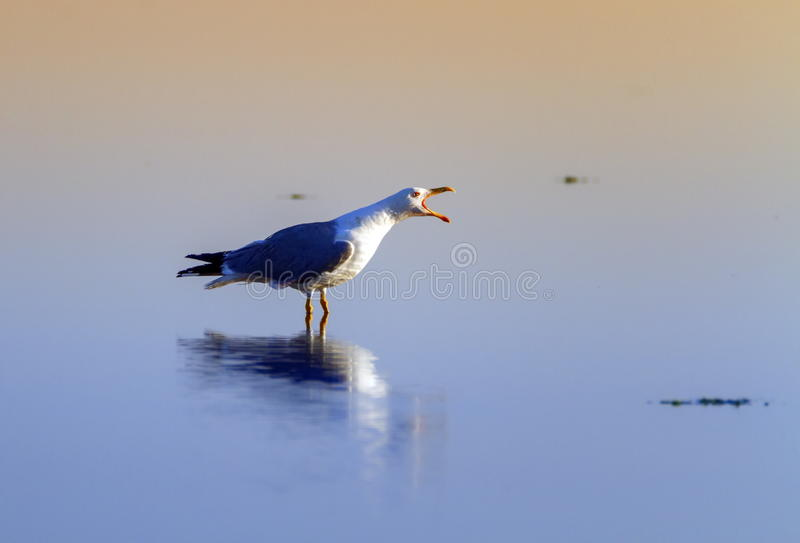 Gull singing on the water, Camargue, France. Beautiful gull singing beak open standing on the water, Camargue, France stock photography
