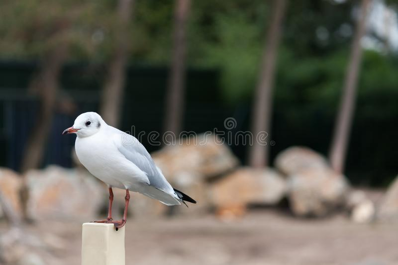 Gull sitting on pole. Photo has a blurry background. The picture was taken at the Safaripark Beekse Bergen, Hilvarenbeek. During a summer day stock images