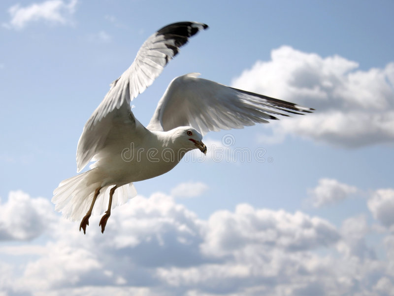 Gull in the sky stock photo