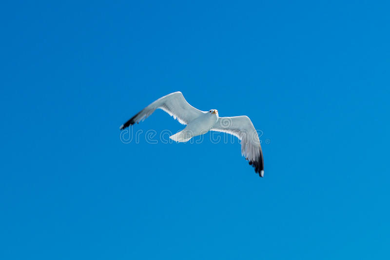 Gull in sky royalty free stock images