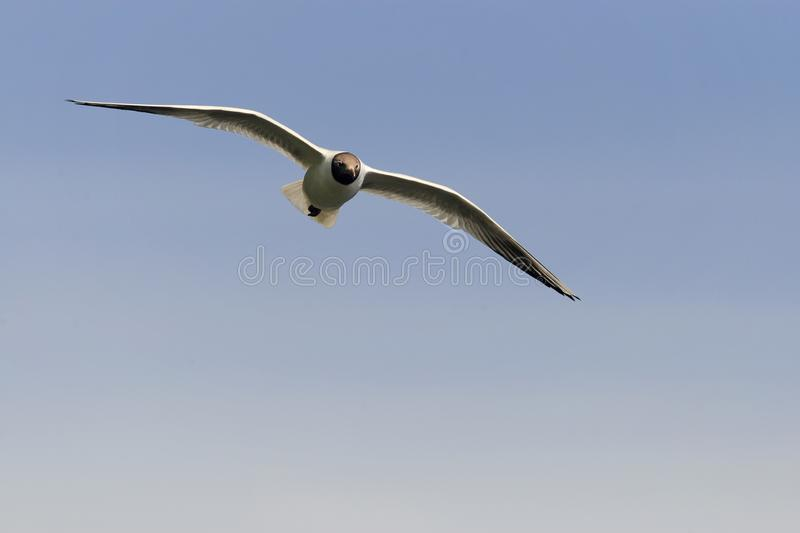 Gull soaring in the sky royalty free stock images